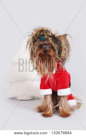 dog Yorkshire Terrier dressed as Santa Claus sits in a fur hat near Christmas tree