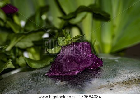 Close up shot of a rain-soaked violet pansy resting on a metal water pail