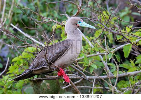Red-footed Booby On Genovesa Island, Galapagos National Park, Ecuador