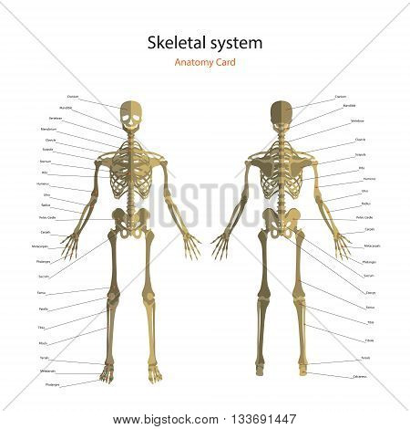 The human skeletal system with explanations. Anatomy guide of human skeleton, male. Anatomy didactic board of human bony system. Front and rear view. Vector Illustration.