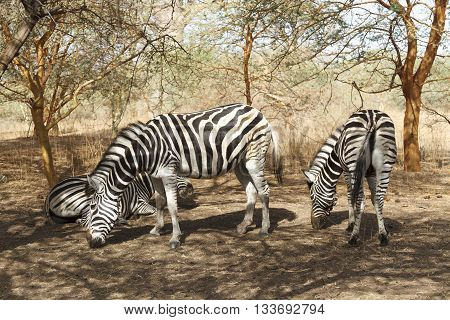 Wild zebras grazing under the shade of a tree in Senegal