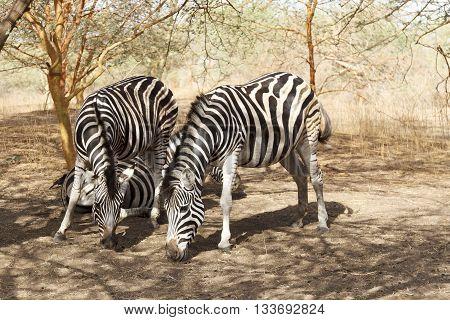 Zebras in the Bandia natural reserve in Senegal