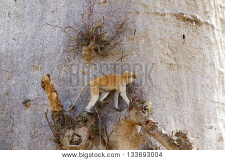 Patas monkey (Erythrocebus patas) or hussar monkey in a baobab tree in Senegal