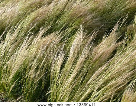 The Needle Grass Nassella tenuissima is planted as a decorative grass in parks and gardens