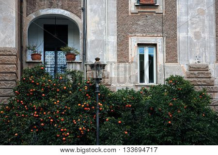 tangerime trees with tangerine on the roman street in front of historical roman building in february Rome Italy