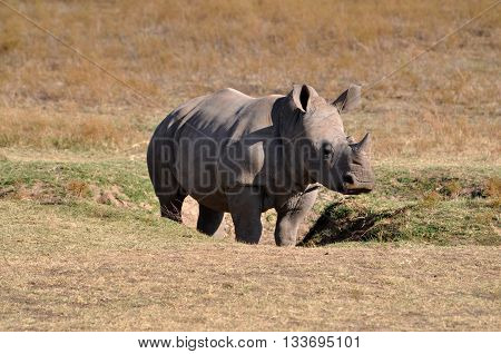 Young rhino standing in the grasslands of Africa