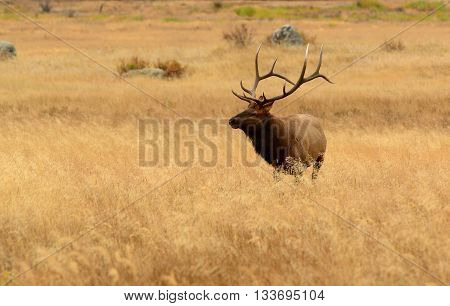 Bull elk with huge antlers in golden meadow