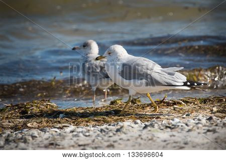 Ring Billed Gull walks a shoreline in search of food