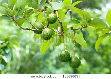 Avocado fruits (Persea americana) on  the tree