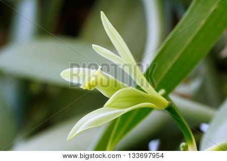 Vanilla flower (Vanilla planifolia) is a member of vanilla orchid.  The resource of vanilla flavoring.