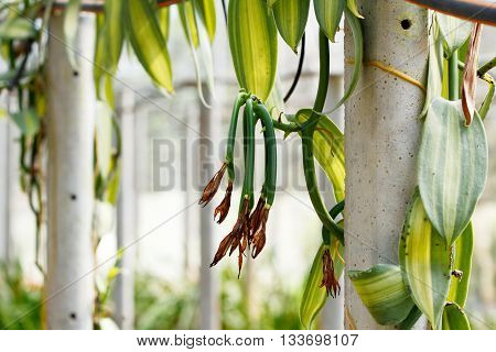 Vanilla young fruit (vanilla bean, pod) ,The Vanilla planifolia (orchid) fruits are harvest and cured to dried the pod for extract vanilla flavoring.