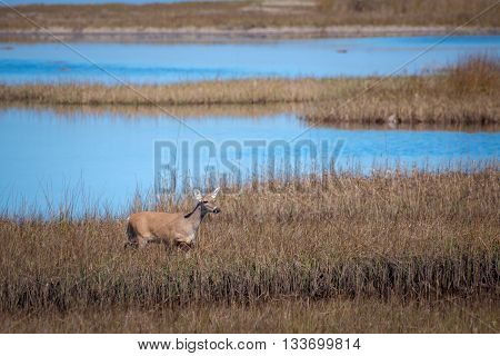 Whitetail doe walks through a marsh with her head up