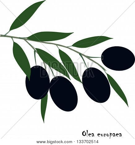 Oliva europaea branch with black fruit and green leafs on white, object isolation, vector