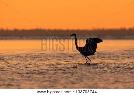 Silhouette of a blue heron hunting the ocean waters at night