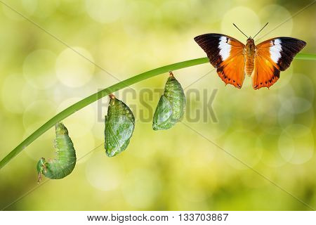 Isolated Life Cycle Of Tawny Rajah Butterfly