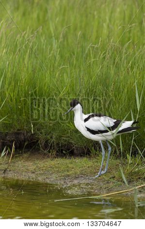 Pied avocet wading in nature water