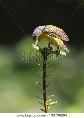 A Nashville Warbler (Leiothlypis ruficapilla) Feeding on a Treetop