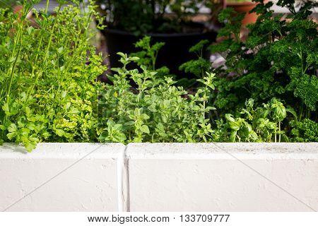 herb garden in the sunshine different herbs in it