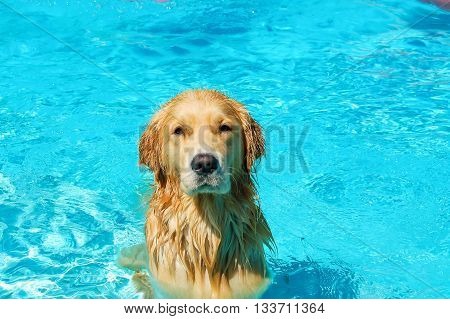 A pure male Labrador race dog refreshing in a swimming pool