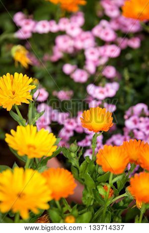 flowerbed with lot of orange and yellow calendula