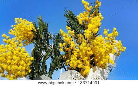 Branches of mimosa flower (silver wattle) on bright blue sky background