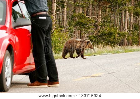 Young Grizzly Bear Crossing Road In Yellowstone National Park, Wyoming