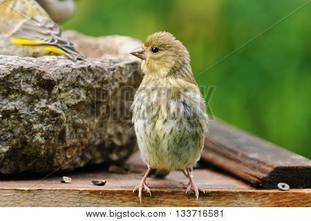 Young European greenfinchwith the family on a bird feeder in the garden, Russia