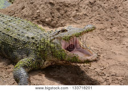 Alligator with mouth wide open laying on sandy shoreline