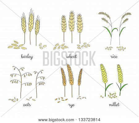 Hand drawn cereals and grains isolated on white background. Barley wheat rice oats rye millet.