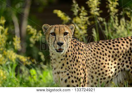 Cheetah walking through tall grasses of Africa