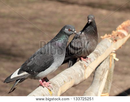 Closeup view of grey pigeon over the blur background