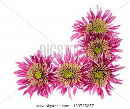Chrysanthemums heads arrangement in the form of border angle isolated on white background