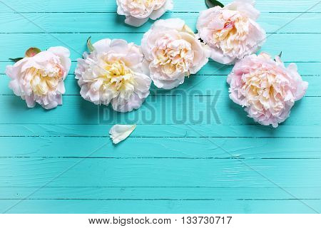 Tender pink peonies flowers on turquoise wooden background. Flat lay. Top view with copy space. Selective focus. Toned image.
