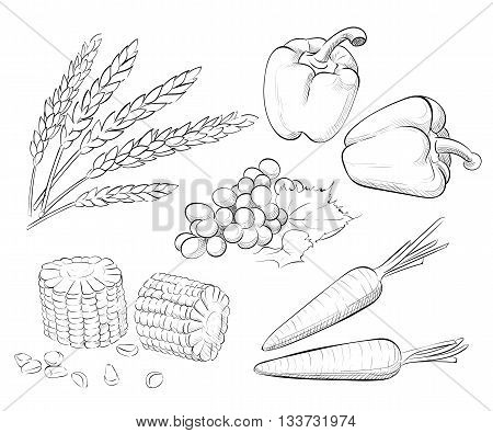 Vector hand drawn sketch Harvest set. Eco foods. Carrot corn wheat pepper grapes. Shavuot.