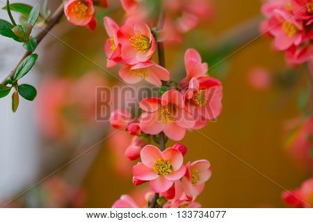 Beautiful quince spring flowers in blossom, selective focus
