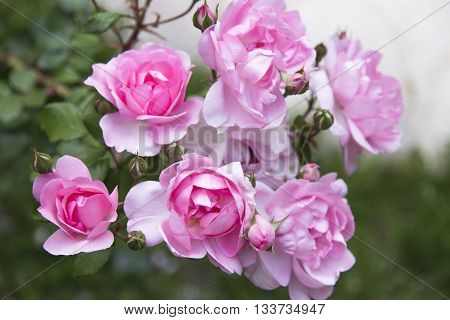 Beautiful pink rose in a garden. narure background