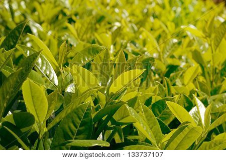 fresh bay leaves on a bush under the bright spring sun