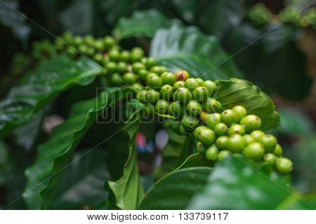 A lot of unripe coffee beans growing on the branch. Selective Focus.