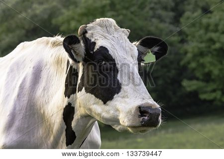 Black and White Holstein cow head and neck with green background