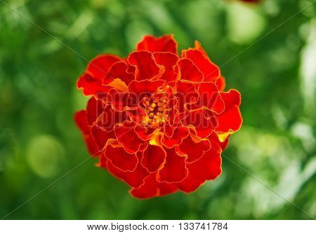 beauty red marigolds growing in the flowerbed