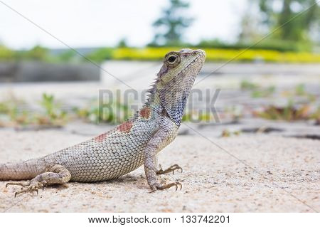 Closeup Chameleon Or Tree Lizard On The Floor, Wild Chameleon In Blurred Nature Background
