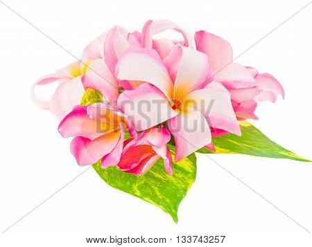 beautiful plumaria flowers on white background, for relax and spa