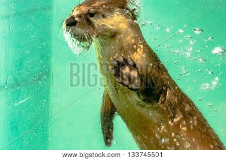 Montgomery, Alabama, February 21, 2016: River otter (Lutra canadensis) exhibit at the Montgomery Zoo Montgomery Alabama.
