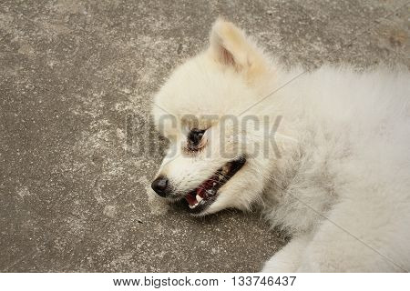 White pomeranian dog on cement at the park