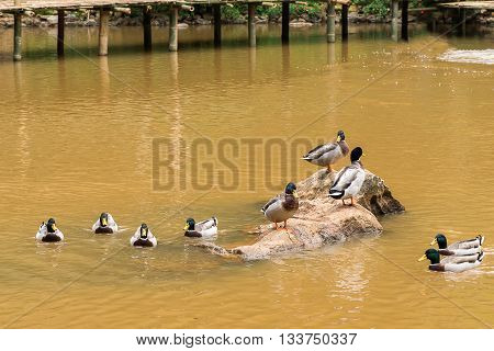Flock of Ducks swimming in the water.