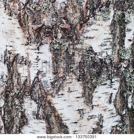 Texture of old birch tree bark covered with lichen