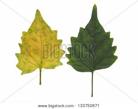 Green leaf Green leaves Yellow leaf Yellow leaves isolated on white background
