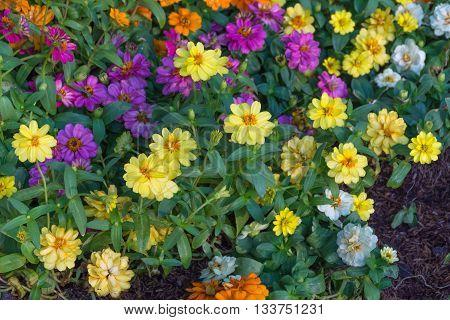 Flower (daisy Flower)