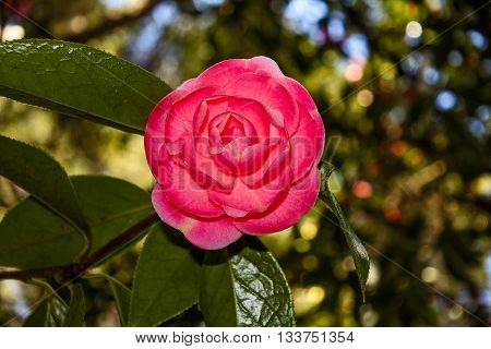 Pink Camellia japonica 'Pink Perfection' rose flower highlighted in bokeh focus