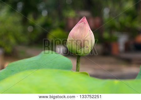 Lotus Flower Pink Green Color